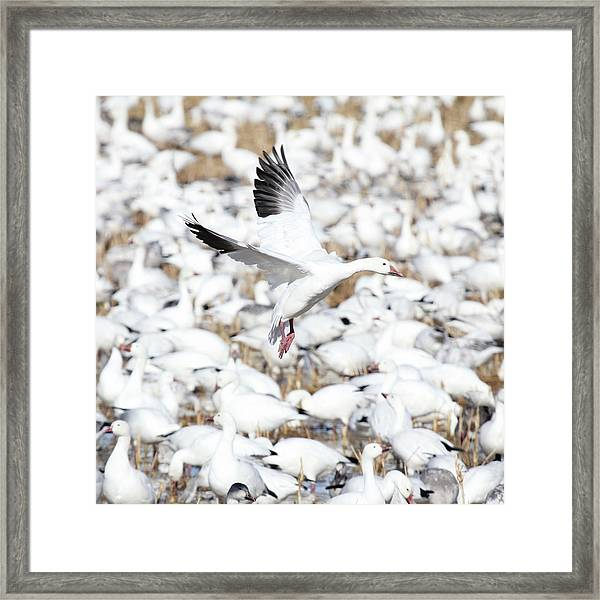 Snow Goose Lift-off Framed Print