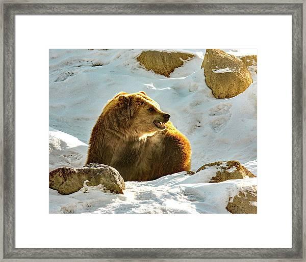 Snow Growl Framed Print