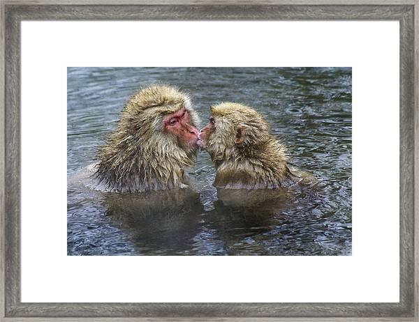 Snow Monkey Kisses Framed Print