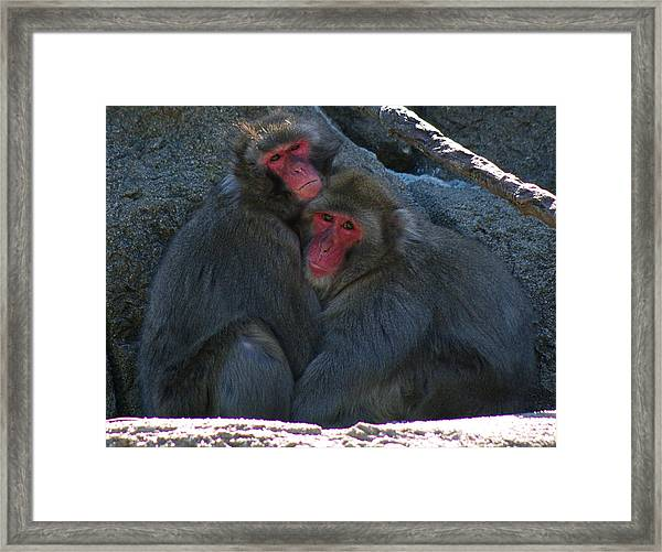 Snow Monkeys In Love Framed Print