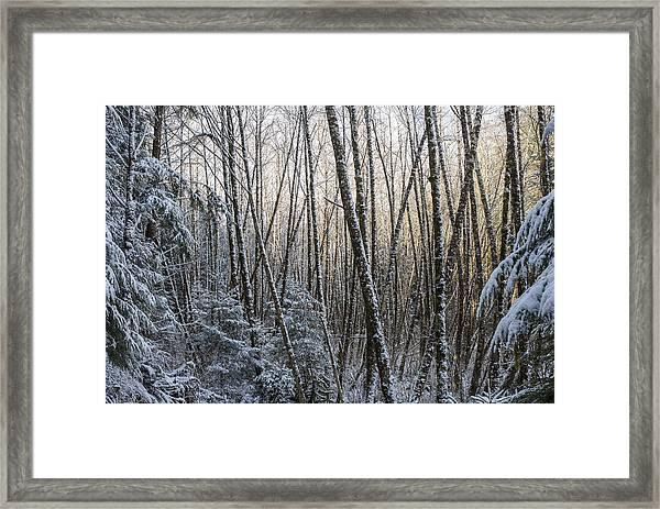 Snow On The Alders Framed Print
