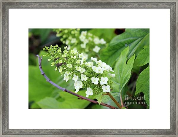Snow Queen Hydrangea Framed Print