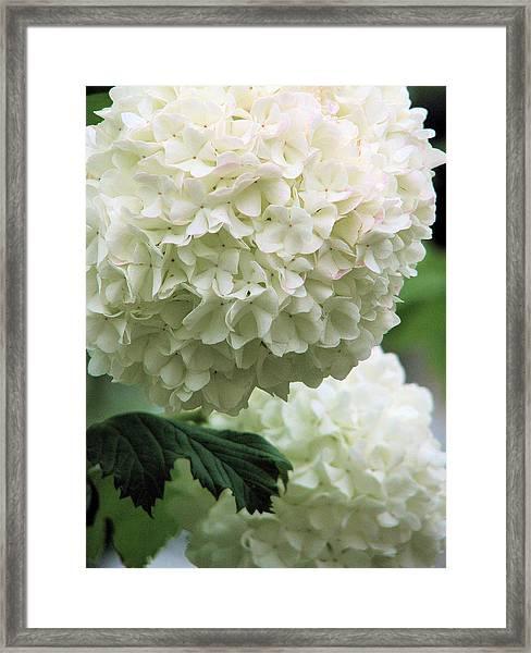 Snowball White Framed Print