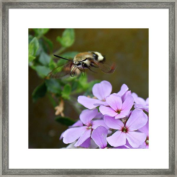 Snowberry Framed Print