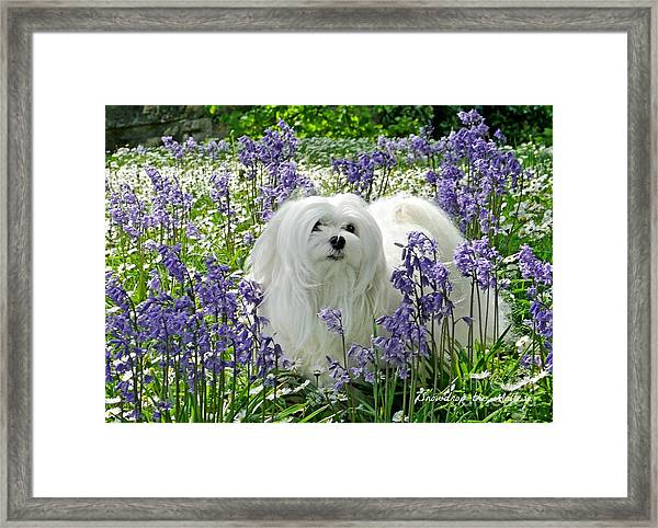 Snowdrop In The Bluebell Woods Framed Print
