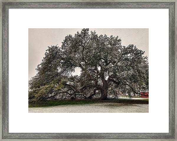 Snowfall On Emancipation Oak Tree Framed Print