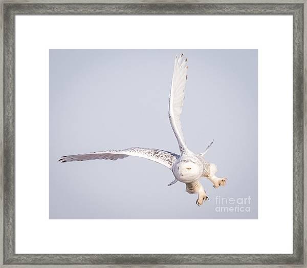 Snowy Owl Flying Dirty Framed Print