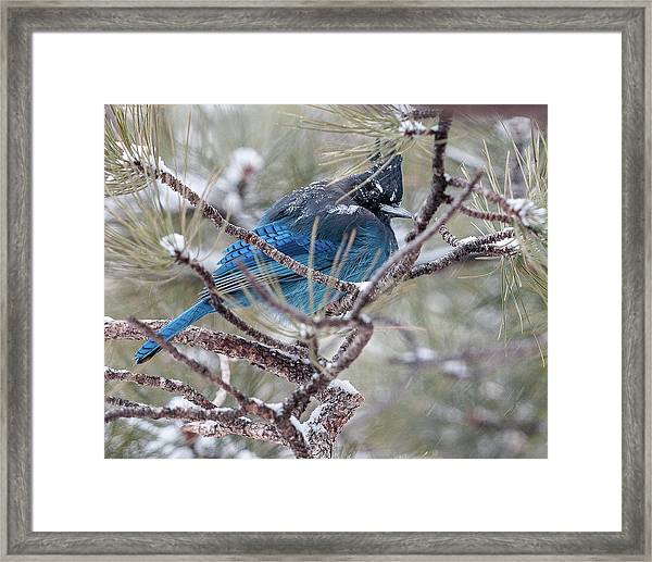 Snowy Bluejay  Framed Print
