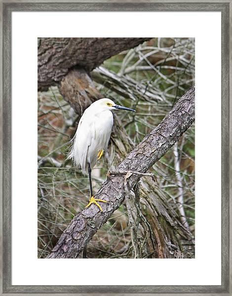 Snowy Egret 1 Framed Print