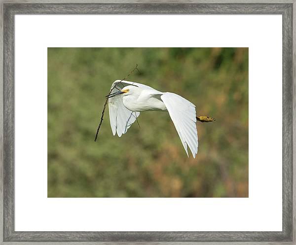 Snowy Egret 4786-091017-1cr Framed Print