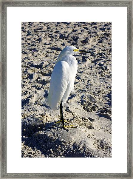 Snowy Egret At Naples, Fl Beach Framed Print