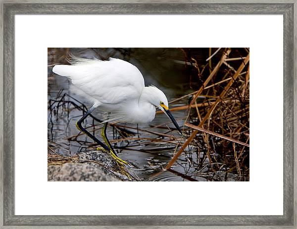 Snowy Egret Egretta Framed Print