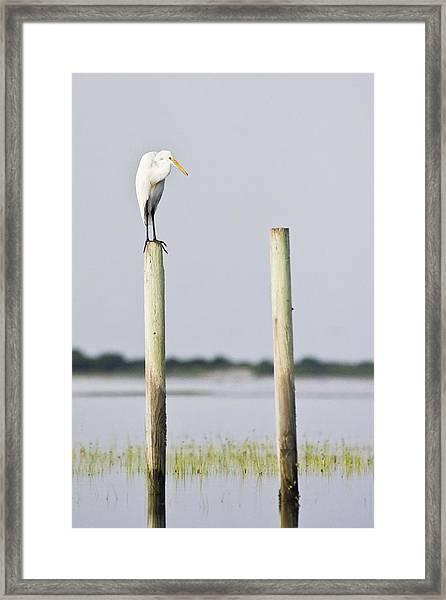 Snowy Egret On Pilings Framed Print