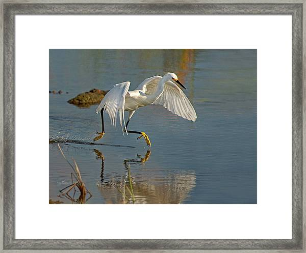 Snowy Egret On The Move Framed Print