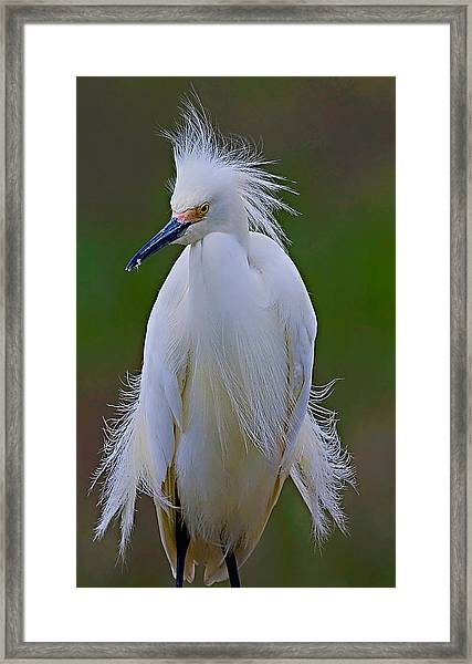 Framed Print featuring the photograph Snowy Egret Struts by William Jobes
