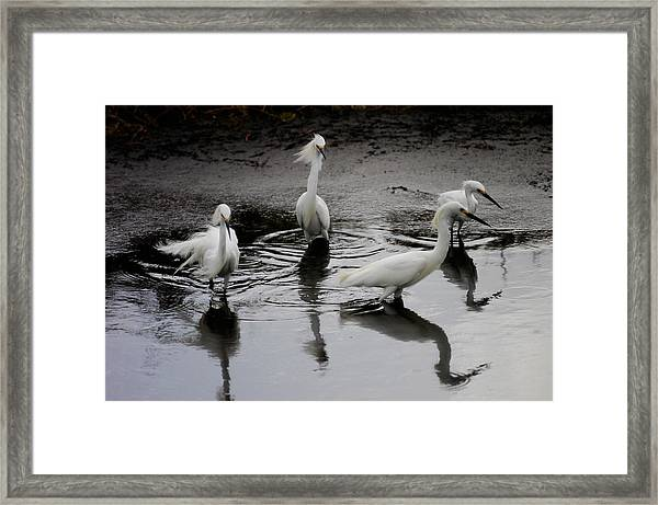 Snowy Egrets I Framed Print