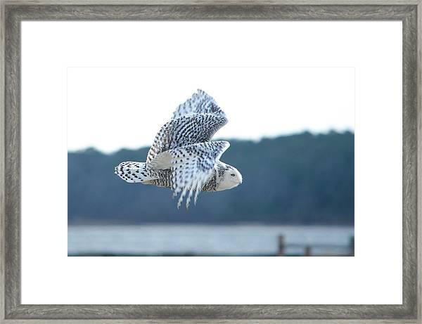 Snowy Owl 1 Framed Print