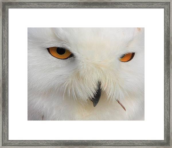 Snowy Owl Close Framed Print by Larry Federman
