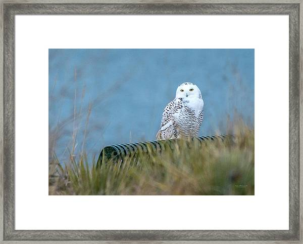 Snowy Owl On A Park Bench Framed Print