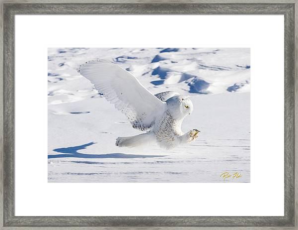 Snowy Owl Pouncing Framed Print