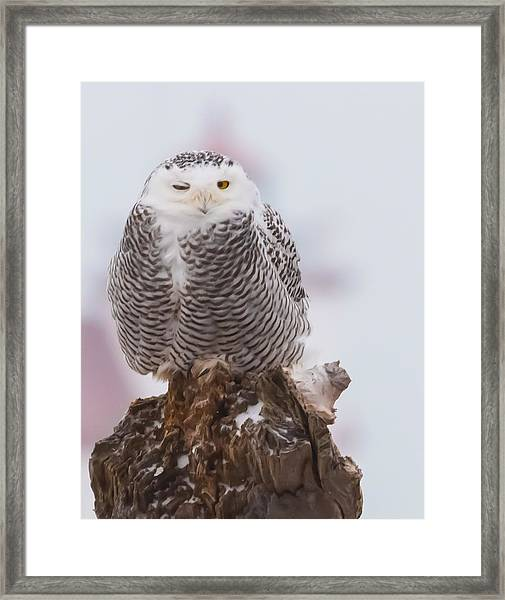 Snowy Owl Winking Framed Print