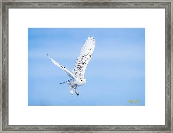 Snowy Owls Soaring Framed Print