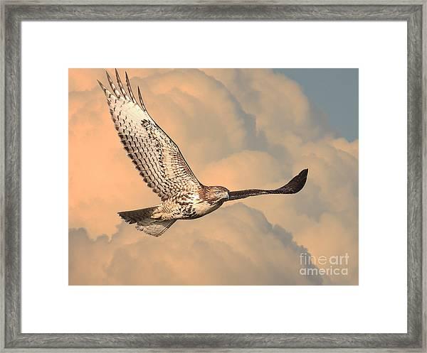 Soaring Hawk Framed Print
