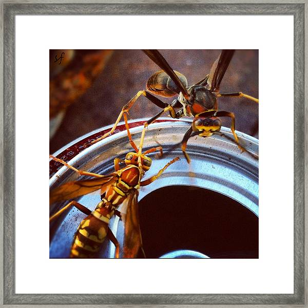 Soda Pop Bandits, Two Wasps On A Pop Can  Framed Print
