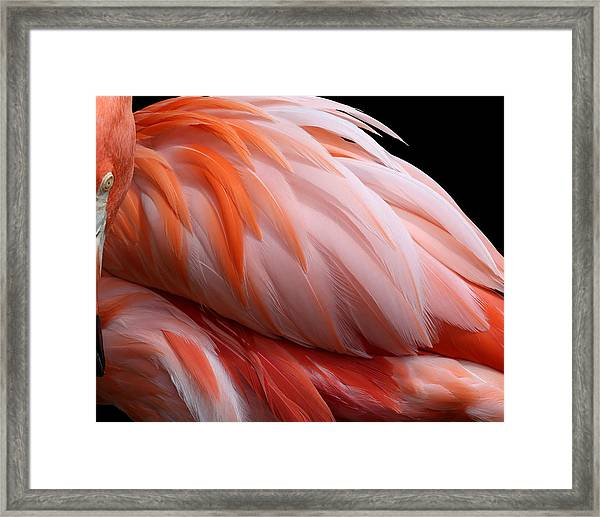 Soft And Delicate Flamingo Feathers Framed Print