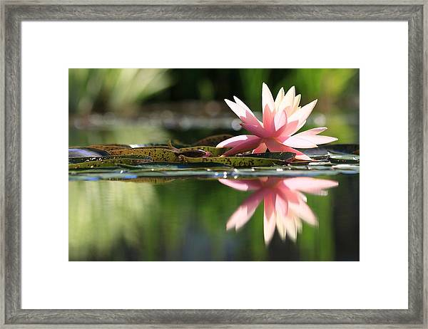 Soft Pink Water Lily Framed Print