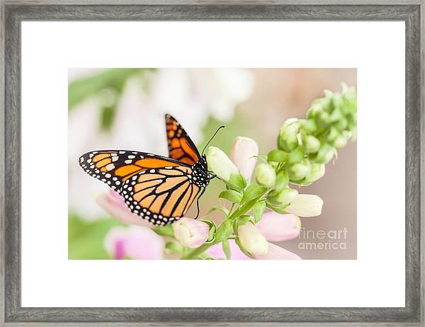 Soft Spring Butterfly Framed Print