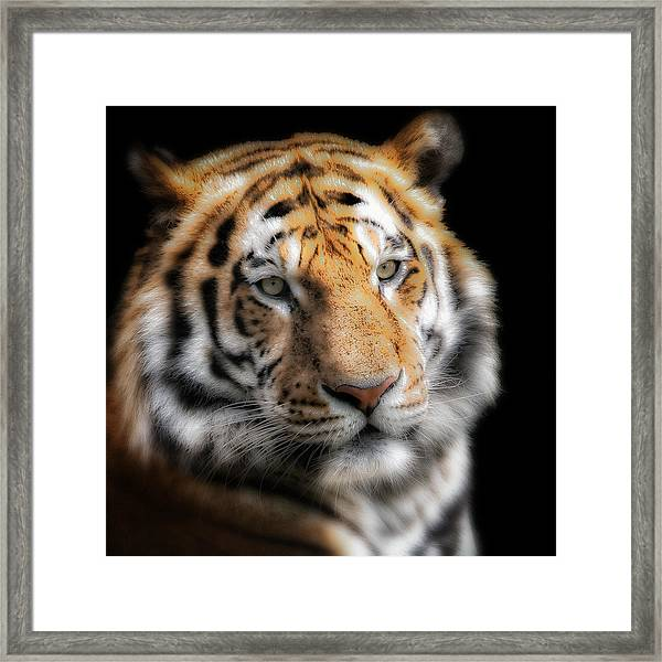 Soft Tiger Portrait Framed Print