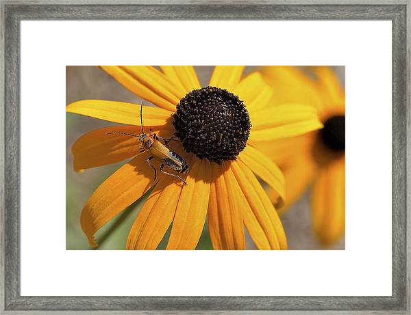 Soldier Beetle On His Flower Framed Print