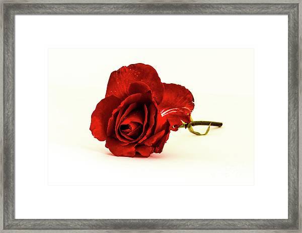Red Rose Bud Framed Print