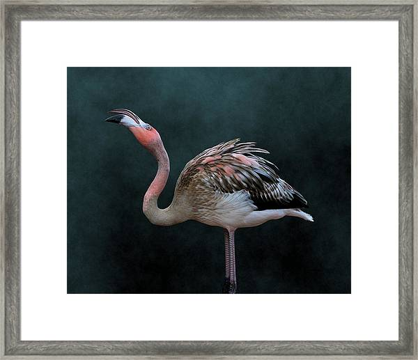 Song Of The Flamingo Framed Print