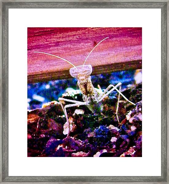 Sonoran Desert Ground Mantis Framed Print