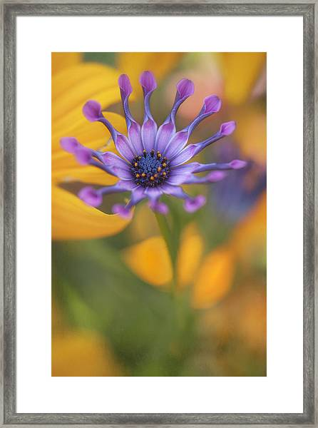 South African Daisy Framed Print
