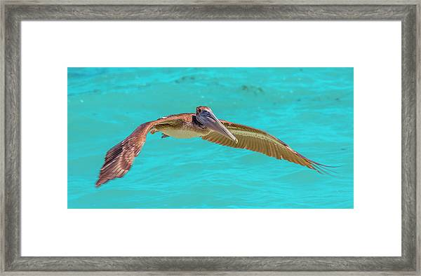 Southern Most Pelican Framed Print