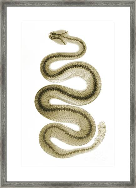 Southern Pacific Rattlesnake, X-ray Framed Print