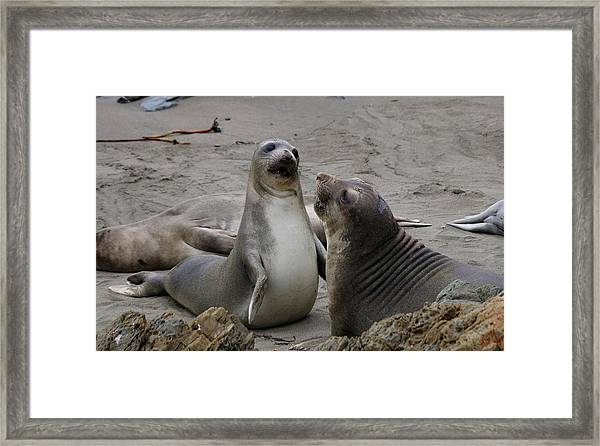 Sparring Seals  Framed Print
