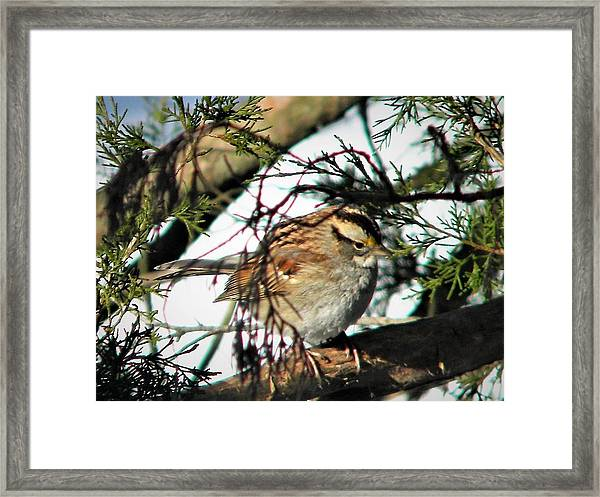 Sparrow In The Snow Framed Print
