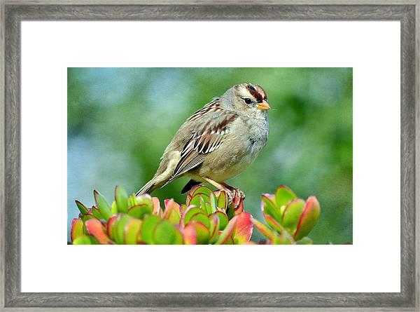 Sparrow Song 9 Framed Print