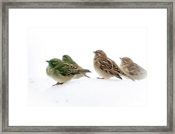 Sparrows In The Snow Framed Print