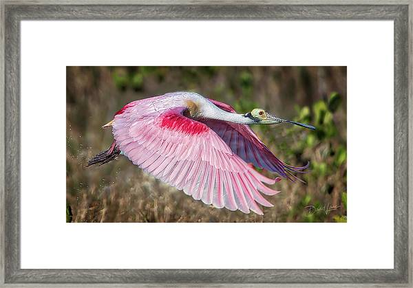 Framed Print featuring the photograph Spoonbill Winging It by David A Lane