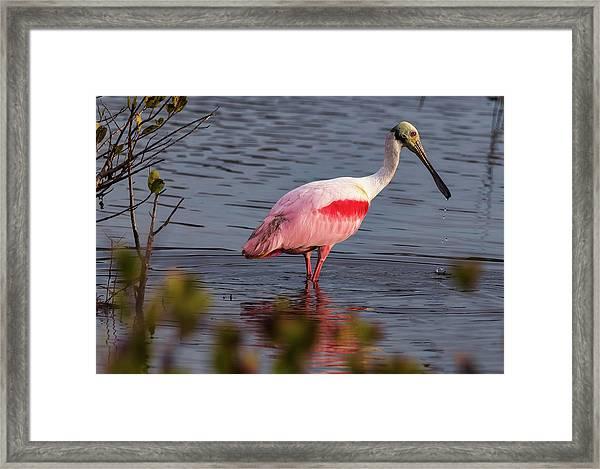 Spoonbill Fishing Framed Print