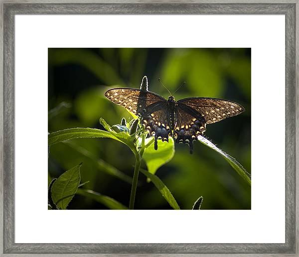 Spicebush Swallowtail I Framed Print