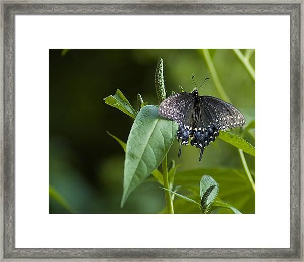 Spicebush Swallowtail II Framed Print