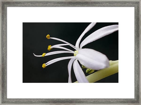 Spider Plant Flower Framed Print
