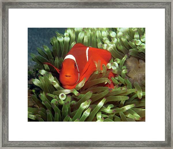 Spinecheek Anemonefish, Indonesia 2 Framed Print