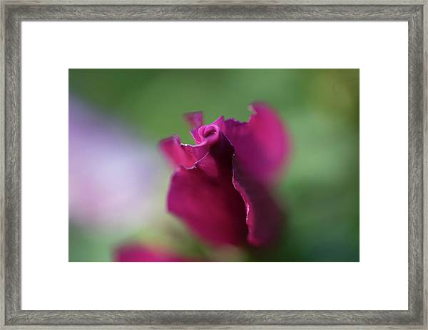 Spinning With Rose Framed Print